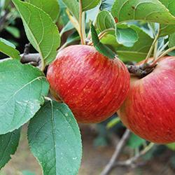 pomme-octobre-jardin
