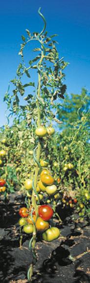 comment planter des pieds de tomates outillage bricolage jardinage et accessoires maison. Black Bedroom Furniture Sets. Home Design Ideas