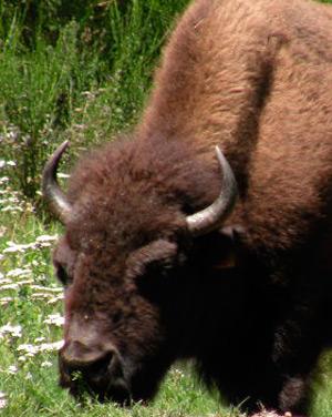 élevage de bison en haute saône