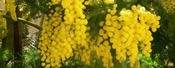 idée jardin : le mimosa d'hiver !