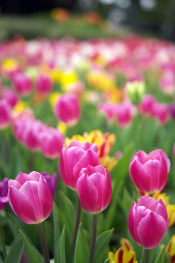 Bulbes d'automne, tulipes, narcisses…